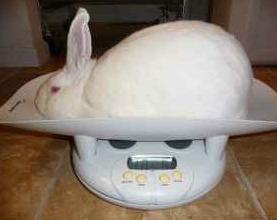 New Zealand White rabbit from 100 Days Rabbitry in Georgia