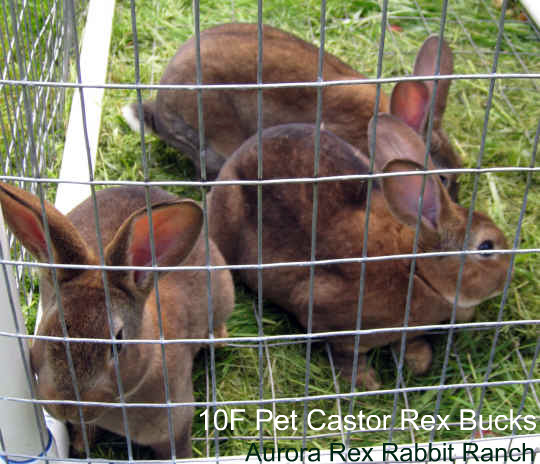 Pet castor rex rabbits