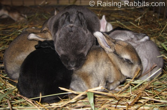 Variety of color genetics in a single litter of rabbits