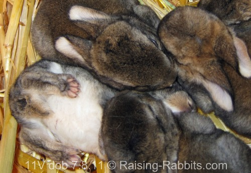 Selective breeding shapes the color, type, and performance of these young rabbits