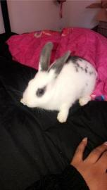 Gray and white spotted pet rabbit