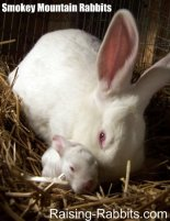 New Zealand White rabbits for sale at Smokey Mountain Rabbits