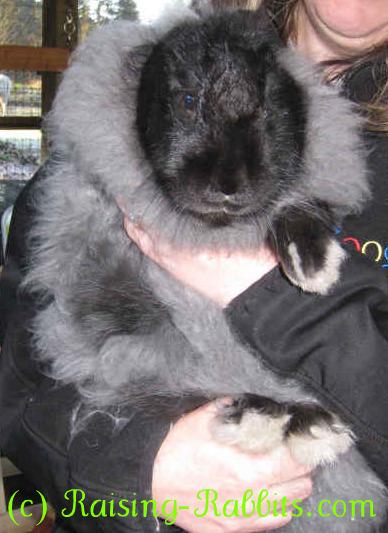 All rabbit breeds - French Angora Rabbit