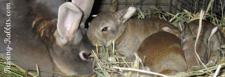 Feeding baby rabbits - these 16 day old kits still need their dam