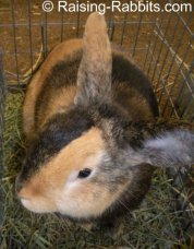 All rabbit breeds - Harlequin Rabbit (Japanese)