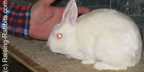 Dwarf Rabbits - Red Eyed White Mini Satin Rabbit