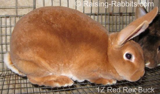 Red Rex Rabbit