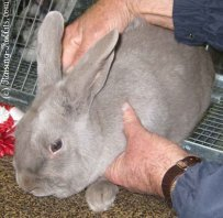 All rabbit breeds - Lilac Rabbit