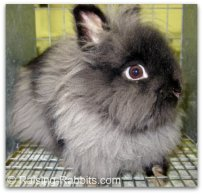 Lionhead Rabbit. Accepted by ARBA in REW and tort - this lionhead is black.