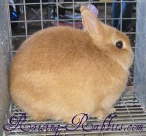 All rabbit breeds - Netherland Dwarf Rabbit