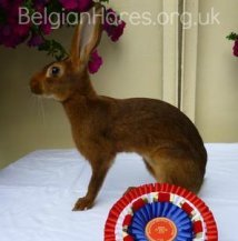 All rabbit breeds - Show-winning UK Belgian Hare Rabbit owned by belgianhares.org.uk