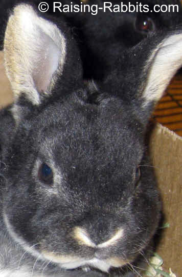 Rabbit Farming - this is a pre-market black otter rex rabbit