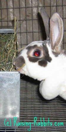 Pregnant rex doe with rabbit nest box