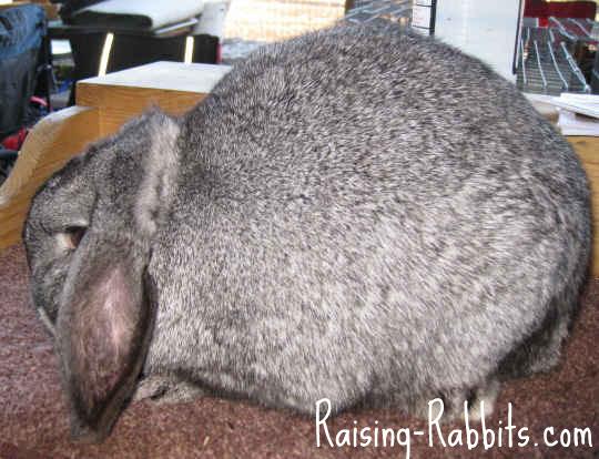 All rabbit breeds - Mini Lop Rabbit