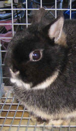 Black Otter Netherland Dwarf Rabbit