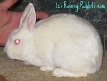 All rabbit breeds - Mini Satin Rabbit