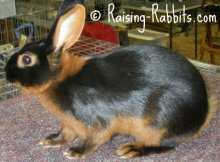 All rabbit breeds - Tan Rabbit (Black)