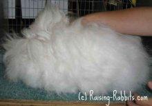 all-rabbit-breeds-english-angora