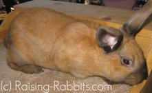 All rabbit breeds - Cinnamon Rabbit