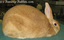 All rabbit breeds - Palomino Rabbit (Golden)