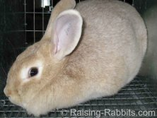 All rabbit breeds - Creme d'Argent Rabbit