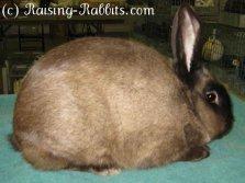 All rabbit breeds - American Sable Rabbit