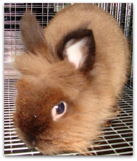 Siamese Sable Lionhead Rabbit