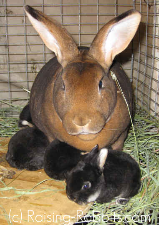 Castor doe and 4 black otter bunnies
