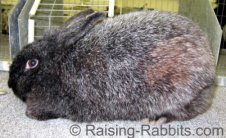 All rabbit breeds - Silver Fox Rabbit