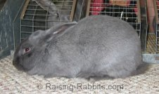 Blue Beveren Rabbit