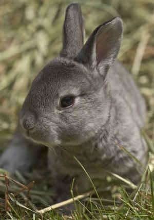 Chinchilla rex bunny in grass