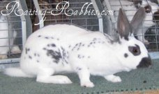 All rabbit breeds - English Spot Rabbit