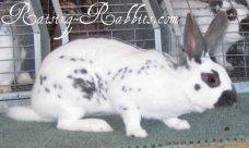 All rabbit breeds - English Spot Rabbit