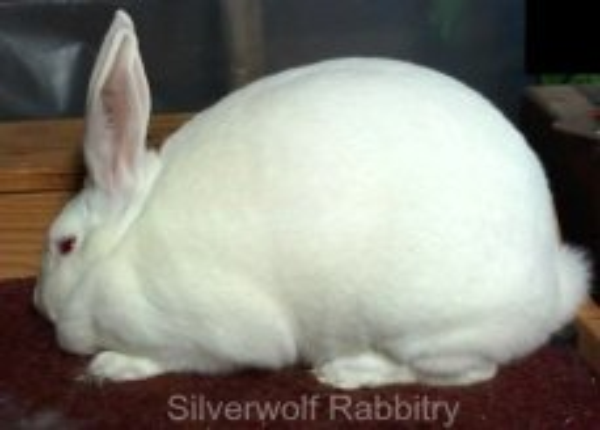 All rabbit breeds - New Zealand Rabbit (REW)