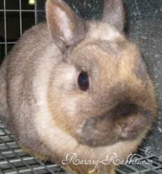 Shaded Netherland Dwarf