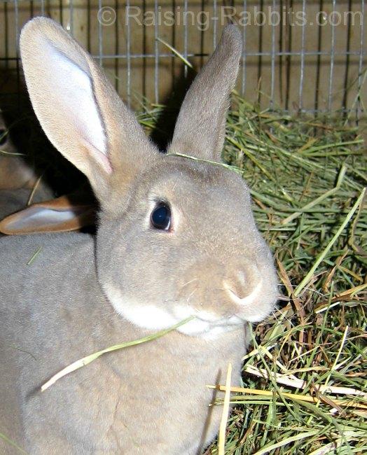 Rabbit eats timothy hay