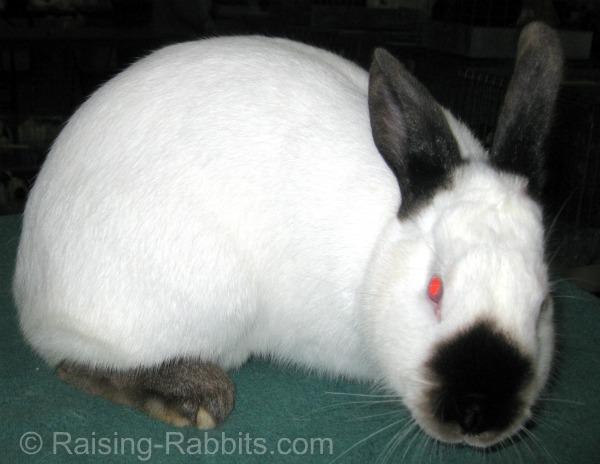 Californian (breed) rabbit