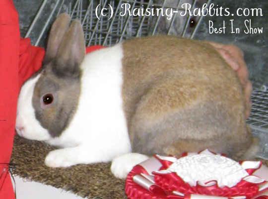 Dutch Rabbit BIS, tort variety