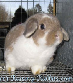 Healthy Holland Lop show rabbit