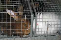 Rex rabbit and Jersey Wooly rabbit waiting for Best in Show competition