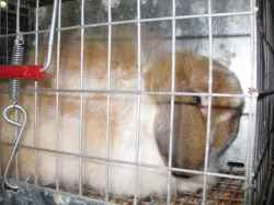 American Fuzzy Lop rabbit waiting in his carry cage for the rabbit show to start
