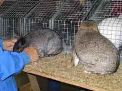 Rabbit judge compares 2 mini-lop rabbits