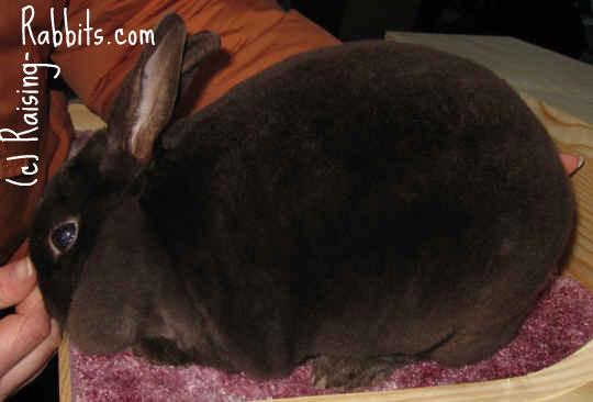Chocolate Mini Rex Rabbit
