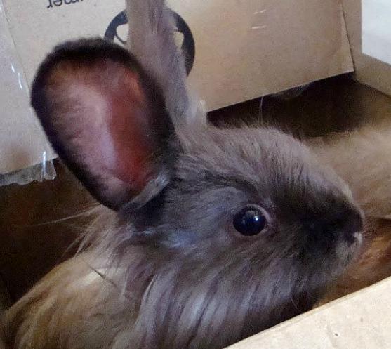 Young Angora Satin rabbit