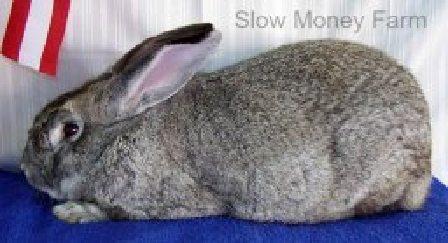 Giant Chinchilla Rabbit from Slow Money Farm in AL