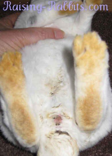 Remnants of mild rabbit diarrhea on the underside of a bunny