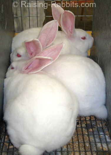 New Zealand White market rabbits