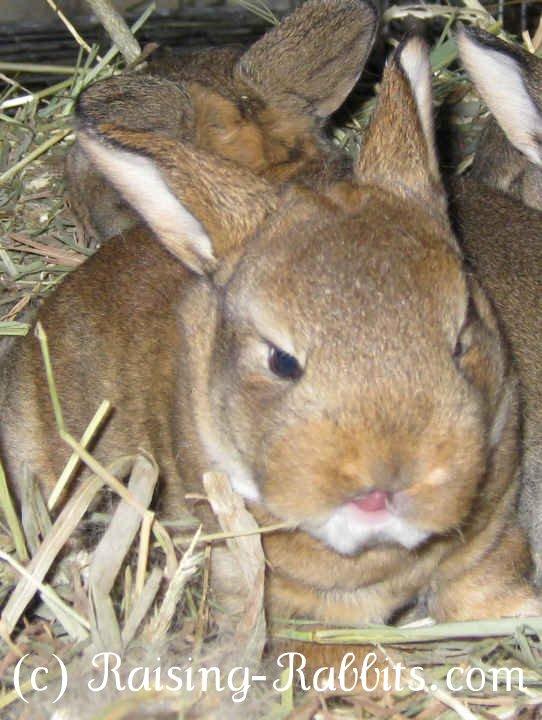 16 day old castor Rex rabbit show bunny