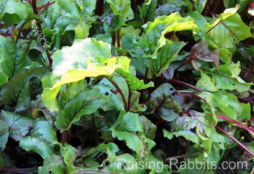 Can weanling bunnies eat beet greens?