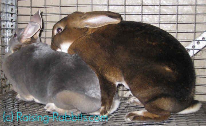 Castor rex rabbit mating with Opal rex doe